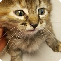 Domestic Mediumhair Kitten for adoption in Joplin, Missouri - Rose 110032