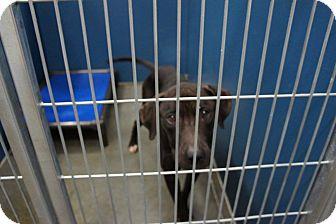 Labrador Retriever Mix Dog for adoption in Henderson, North Carolina - Keeton