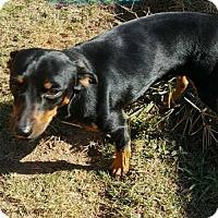Adopt A Pet :: Rascal - Pensacola, FL