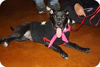 Labrador Retriever/Staffordshire Bull Terrier Mix Puppy for adoption in Raleigh, North Carolina - Darcey