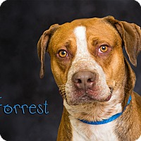 Adopt A Pet :: Forrest - Somerset, PA