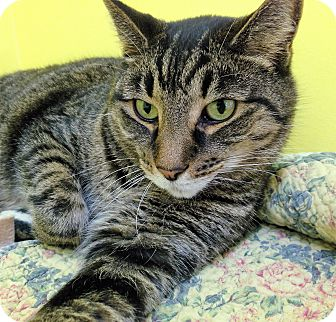 Domestic Shorthair Cat for adoption in Fairfax, Virginia - Jim