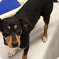 Adopt A Pet :: BRANDI - Gloucester, VA