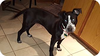 Boxer/Labrador Retriever Mix Puppy for adoption in Aurora, Illinois - Addison