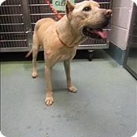 Adopt A Pet :: Coco - Raleigh, NC