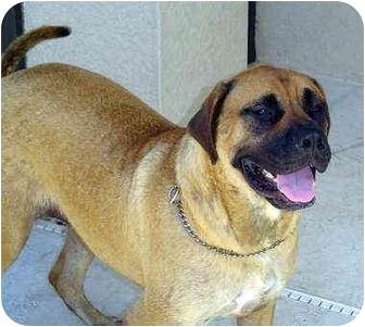 Bullmastiff Dog for adoption in North Port, Florida - Crissy