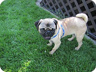 Pug Dog for adoption in Eagle, Idaho - Effv