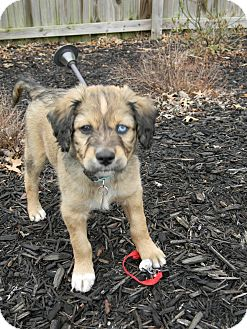 Australian Shepherd/Golden Retriever Mix Puppy for adoption in Marietta, Georgia - Blue