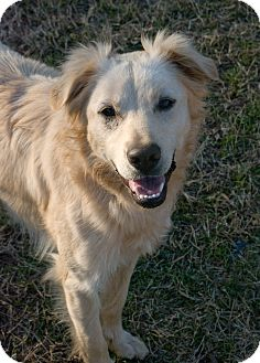 Border Collie/Golden Retriever Mix Dog for adoption in Greensboro, Georgia - Shyla- Adopted!