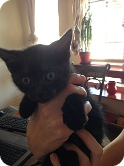 Domestic Shorthair Kitten for adoption in Fountain Hills, Arizona - DWIGHT