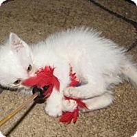 Adopt A Pet :: Apollo - Edmond, OK