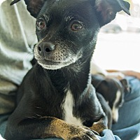 Adopt A Pet :: Molly - West LA, CA