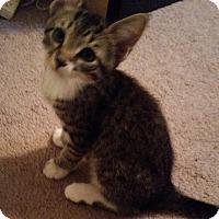 Adopt A Pet :: Nutmeg - Raritan, NJ