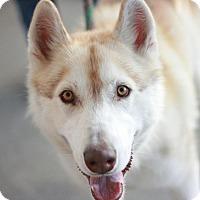Adopt A Pet :: Calypso - Canoga Park, CA