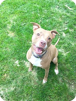 American Staffordshire Terrier Mix Dog for adoption in Dublin, Ohio - Izzy