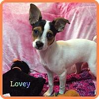 Adopt A Pet :: Lovey - Hollywood, FL
