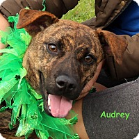 Adopt A Pet :: Audrey - Charlemont, MA