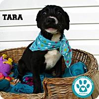 Adopt A Pet :: Tara - Kimberton, PA