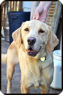 Labrador Retriever Dog for adoption in Broomfield, Colorado - Fresno