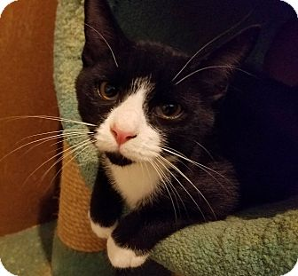 Domestic Shorthair Kitten for adoption in Trevose, Pennsylvania - Katsu