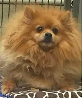 Pomeranian Dog for adoption in Studio City, California - Snapple