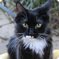 Domestic Mediumhair Cat for adoption in Ocean Springs, Mississippi - Rigby