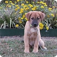 Adopt A Pet :: KADE - Hartford, CT