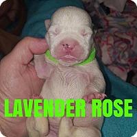 Pit Bull Terrier Puppy for adoption in New York, New York - Lavender Rose