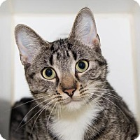 Domestic Shorthair Cat for adoption in Lowell, Massachusetts - Twinkle Toes