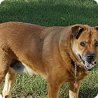 Chow Chow/Shepherd (Unknown Type) Mix Dog for adoption in Durham, North Carolina - Blazen