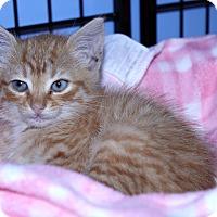 Adopt A Pet :: Zak the Cat - Lumberton, NC