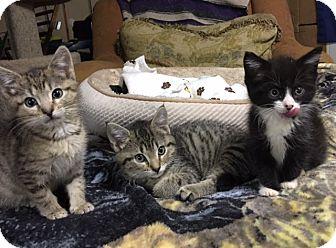 Domestic Shorthair Kitten for adoption in Bloomsburg, Pennsylvania - Three Amigos