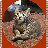 Adopt A Pet :: Cider - Mt. Prospect, IL