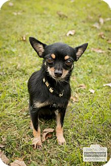 Chihuahua Mix Dog for adoption in Leander, Texas - Sage