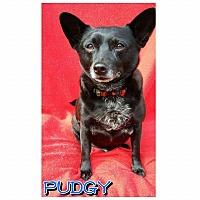 Adopt A Pet :: Pudgy - Charlotte, NC