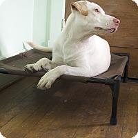 Adopt A Pet :: Allie - norridge, IL