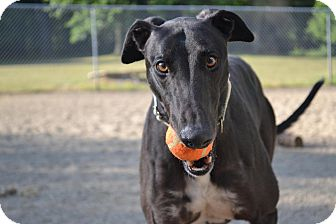 Greyhound Dog for adoption in Chagrin Falls, Ohio - Nicolas (D's Green Back)