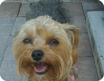 Yorkie, Yorkshire Terrier Dog for adoption in The Villages, Florida - Abby