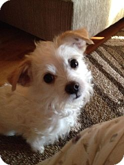 jack russell maltese mix judge adopted dog pawling ny maltese jack russell 3753