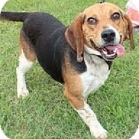 Adopt A Pet :: Barney - Brattleboro, VT