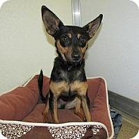 Adopt A Pet :: Billy - Gilbert, AZ