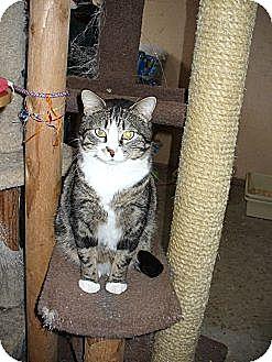 Domestic Shorthair Cat for adoption in Bentonville, Arkansas - Iggy