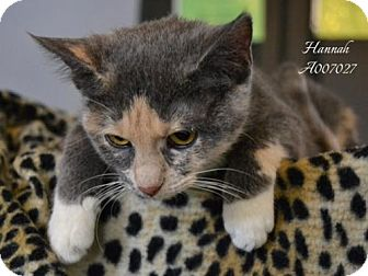 Domestic Shorthair Cat for adoption in Conroe, Texas - Hannah