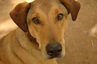 Coonhound/Shepherd (Unknown Type) Mix Dog for adoption in Pt. Richmond, California - CHASE