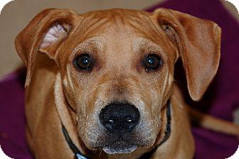 Shar Pei/Labrador Retriever Mix Puppy for adoption in Salem, West Virginia - Ginger