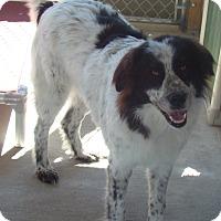Anatolian Shepherd Dog for adoption in Pacific, Missouri - Lola