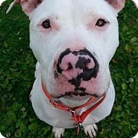 Adopt A Pet :: Vinny - Grayslake, IL