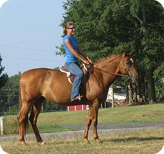 Quarterhorse Mix for adoption in Seneca, South Carolina - Lucy