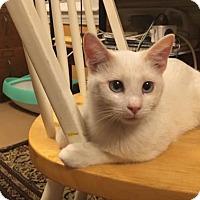 Adopt A Pet :: Commodore - Washington, DC