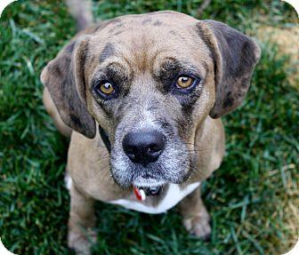Beagle/Catahoula Leopard Dog Mix Dog for adoption in Yorba Linda, California - Wesley